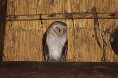 Barn Owl (Rckr88) Tags: barn owl barnowl barnowls owls animals animal birds bird krugernationalpark southafrica kruger national park south africa nature outdoors