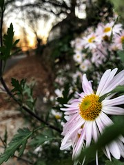 345/365 (moke076) Tags: 2018 365 project 365project project365 oneaday photoaday mobile cell cellphone iphone flower flowers blooming winter daisy atlanta ga dof nature