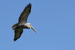 Pélican brun adulte (Puce d'eau) Tags: pélican brun bird aves oiseau ria lagartos rio yucatan quintanaroo mexique nature sauvage wildlife canon eos 7d 150600