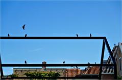 Birds on a Frame (Hindrik S) Tags: starling spreeuw protter sprehe star frame skelet skeleton skelett silhouet silhouette blue sky one flew over roof dak dach bird birds fûgel vogel sonyphotographing sony sonyalpha alpha amount minoltaamount α77 slta77ii sonyilca77m2 sony1650mmf28dtssm sal1650 2018 sonya77ii