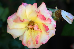 O Jesu, meine Sonne (amras_de) Tags: rose rosen ruža rosa ruže rozo roos arrosa ruusut rós rózsa rože rozes rozen roser róza trandafir vrtnica rossläktet gül blüte blume flor cvijet kvet blomst flower floro õis lore kukka fleur bláth virág blóm fiore flos žiedas zieds bloem blome kwiat floare ciuri flouer cvet blomma çiçek