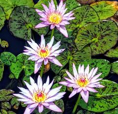 Four Pond Flowers (pmorris73) Tags: arboretum pennstateuniversity statecollege pennsylvania century 2cee 3cee 4cee 5cee 6cee 7ca0619 8ca2319 9cb1719 1kc0619