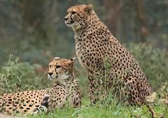 cheetah Burgerszoo 094A1260 (j.a.kok) Tags: animal africa afrika mammal cheetah jachtluipaard acinonyxjubatus acinonyxjubates predator zoogdier dier burgerszoo burgerzoo