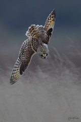 Short Eared Owl dive time. (Howard Kearley Photography) Tags: short eared owl winter birds flight uk hunting nature