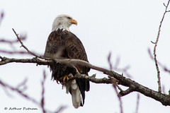 IMG_1724 (Arthur Putnam) Tags: american bald eagle