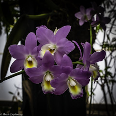 Cluster of Purple Beauty (Thad Zajdowicz) Tags: zajdowicz sanmarino california usa travel canon eos 5dmarkiii 5d3 dslr digital availablelight lightroom primelens 50mm flower orchid flora nature color purple colour indoor inside huntingtongardens square 1x1 light shadow white