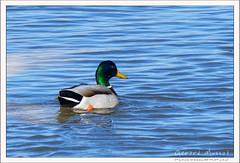 2019-03-13-40203--©-Gerard-MUSSOT (Gerard MUSSOT) Tags: deltedelebre oiseaux faune españa ebro reservenaturele