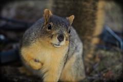 Squirrel, Morton Arboretum. 443 (EOS) (Mega-Magpie) Tags: canon eos 60d outdoors nature wildlife squirrel the morton arboretum lisle il illinois usa america dupage