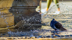 pigeon bain fontaine (YassChaf) Tags: oiseau pigeon nature urbaine urban bird dove montpellier france animaux animal animale fontaine fountain eau bain water bath gouttes drop drops