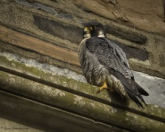 2I1A0964a (lfalterbauer) Tags: canon 7dmarkii nature wildlife ornithology cornell avian adobe lightroom dslr digital peregrine falcon falcoperegrinus raptor outdoor bird photographer
