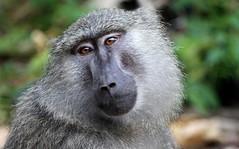 Baboon (jd.willson) Tags: jd willson jdwillson nature wildlife mammal primate baboon gombe national park tanzania africa
