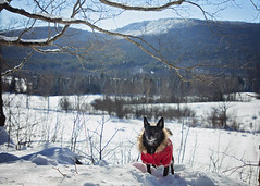 The Parka 2/52 (Boered) Tags: chico dog parka coat snow mountains field branches mountholly vermont