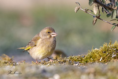 Verdier d'Europe (sfrancois73) Tags: verdierdeurope jardin affût drinkstation oiseau