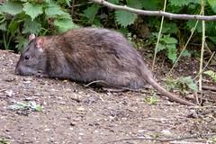 Rat (Ashley Middleton Photography) Tags: brownrat cricklade animal england europe lowermoorfamnaturereserve mammal rat rodent unitedkingdom wiltshire cotswoldwaterpark
