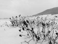 Brennnesseln im Schneegestöber (shortscale) Tags: schwarzweiss blackandwhite noiretblanc monochrome schnee brennnessel