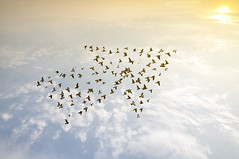 Birds on sky , growth development concept (nithiyabhaskar) Tags: growth vision leader arrow lead concept leadership bird background teamwork sky business growing symbol dove collection winner design group home meeting conceptual financial network white future escape success social finance different idea development abstract team creative up develop crowd extension expansion working nature pattern evolution animal flying thailand