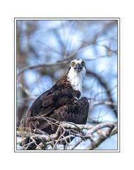 Osprey (tvj21) Tags: osprey bird big cypress florida nikon