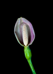 DSC_8038-1 (Sergio Nascimento BRAZIL) Tags: flor nikon d3 lens pentax 645 120mm macro fundo preto nature