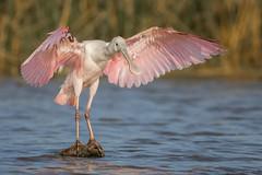Thankyou, Thankyou (gseloff) Tags: roseatespoonbill bird wings flapping nature wildlife animal water horsepenbayou pasadena texas kayak gseloff