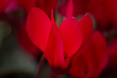 Red Fantasy (San Francisco Gal) Tags: cyclamen flower fleur bloom blossom macro red bokeh ngc