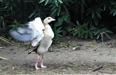 _SAM2846 (maddoctorartist) Tags: birds worldofbirds southafrica houtbay jackasspenguin goldenpheasant oriole starling peacock peahen ducks ibis himalayanmonal parrot macaw pigeons