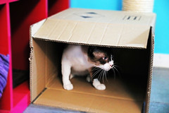 Newton from Meowdrid (kirstiecat) Tags: cat feline madrid spain catshelter catcafe gatoteca gato gata chat chatte meowdrid europe kitty caturday catinabox blur canon tiltshift