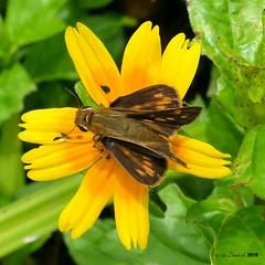 Hylephila phyleus (LPJC) Tags: butterfly panama 2018 lpjc hylephilaphyleus skipper quebradagarza