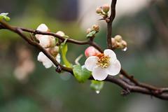 66/365 white blossoms