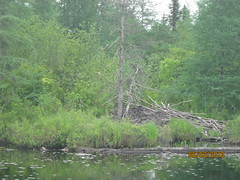 Old abandoned beaver lodge (bitemeasshole69) Tags: kinarkoutdoorcentre minden ontario canada lakes water outdoors wilderness nature specialneedscamp autismontario activities freshair upnorth northernontario camping respite fun exhilirating hwy35 counsellors scenic picturesque calming serene peaceful landscape wildscape coniferous deciduous trees nativetrees foliage underbrush lush canadianwilderness spring2018 green bugs insects