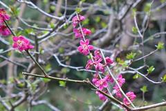 19o2395 (kimagurenote) Tags: ウメ 梅 ume plum blossom prunus prunusmume flower 東高根森林公園 higashitakane forest park 川崎市宮前区 miyamaekawasaki