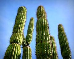 Organ Pipe Cactus (PeterCH51) Tags: organpipecactus cactus desertplant tucsonbotanicalgardens botanicalgarden tucson arizona usa america stenocereusthurberi nature peterch51