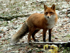 The puffy fox.. (irio.jyske) Tags: animalphotographer animalphotograph animal fox puffy fat food toomuch naturepic naturescape naturephotograph naturepictures naturephoto naturephotos nature naturephotographer naturepics natural photographer photograph photos pic beauty beautiful winter autumn nice