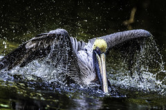Pelican Splashing (photocat001) Tags: pelican flamingogardens splash water bird feathers