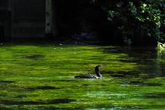 (garthim) Tags: olympus japan shizuoka em1 40150mm fujinomiya bird water mzuiko