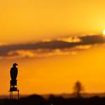 Osprey Sunset thumbnail
