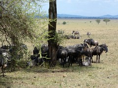looking for some shade (Linda DV) Tags: lindadevolder travel africa tanzania 2018 nature victorialake geotagged fauna flora serengeti serengetinationalpark