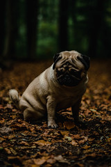 20181026-DSC00116 (ToxicTones) Tags: pug basil neigembos wood forest dog dogs sony alpha a7rii sonyalpha nature naturelover naturephotography naturelovers natureperfection natuur naturalframe mood moody autumn fall