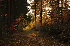 Path (Stefano Rugolo) Tags: stefanorugolo pentax k5 pentaxk5 kepcorautowideanglemc28mm128 ricohimaging autumn path forest trees backlight light fall leaves manualfocuslens manualfocus manual vintagelens primelens kmount hälsingland sweden sverige