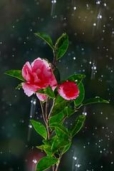 Flowers in the rain 1 (keiko*has) Tags: adulthomework hose leaveataprunning sasanqua strobe backlit 大人の宿題 ストロボ 逆光 水道 ホース 山茶花 難しかった
