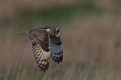 Short-eared Owl (cooky1959) Tags: shortearedowl shortie eastyorks bemptoncliffs rspb owls