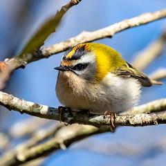 Roitelet triple bandeau (Altus65) Tags: nikon nature roitelet regulus oiseaux birds