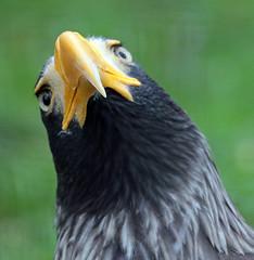 steller zeearend Blijdorp 094A0211 (j.a.kok) Tags: animal blijdorp mammal dier bird birdofprey vogel arend zeearend stellerzeearend