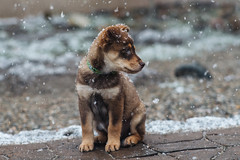 Stella's first snow (M///S///H) Tags: lenstagger baby brown browndog canine cute dog pup puppy soggy stella young