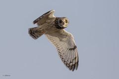 Short-eared Owl / Hibou des marais (shimmer5641) Tags: asioflammeus shortearedowl hiboudesmarais owl raptor birdsofprey birdsofbritishcolumbia birdsofnorthamerica