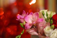 Spring perfume (Baubec Izzet) Tags: baubecizzet pentax bokeh flower freesia nature flickrunitedaward