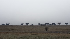 Week 7 - Cows in Fog (J McCallister) Tags: cow livestock fog farm field pasture