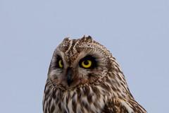 Short-eared Owl / Brandugla (Asio flemmeus) (sgvaldimarsson1001) Tags: shortearedowl brandugla asioflammeus