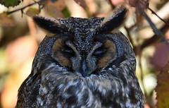 Sleepy Head (Snixy_85) Tags: owl longearedowl asiootus