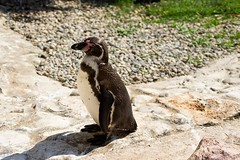 Pinguino (videofotoeventi) Tags: anima animali wild life photography zebra tamarino chioma di cotone tigre suricato struzzo rinoceronte puma pinguino orso bruno lemure variegato giraffa ibis rosso iena gru coronata ghepardo gatto coccodrillo farfalla gabbiano fenicottero