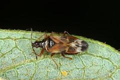 Anthocoris nemoralis (?) (chug14) Tags: macro insect nature animalia arthropoda hexapoda insecta hemiptera heteropttera anthocoridae anthocorinae punaise anthocorini acanthianemoralis anthocorisnemoralis